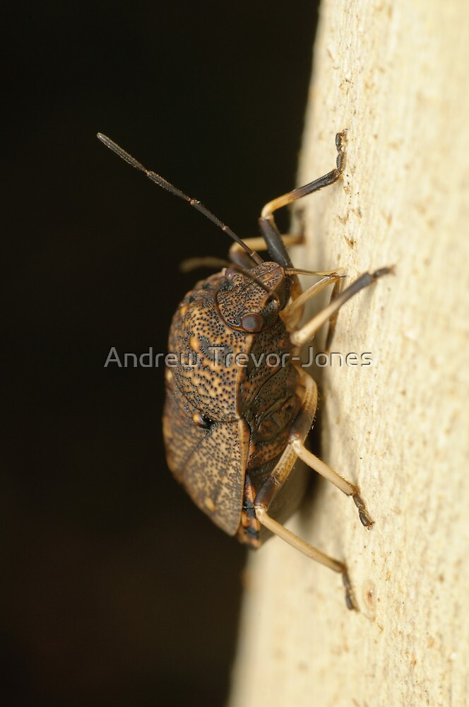 Toad Stink Bug - Platycoris sp. by Andrew Trevor-Jones