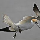 Gannet Landing by dilouise
