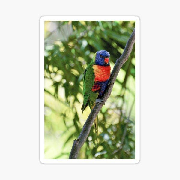 Rainbow Lorikeet Photography Sticker