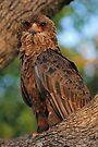 Juvenile bateleur by Explorations Africa Dan MacKenzie