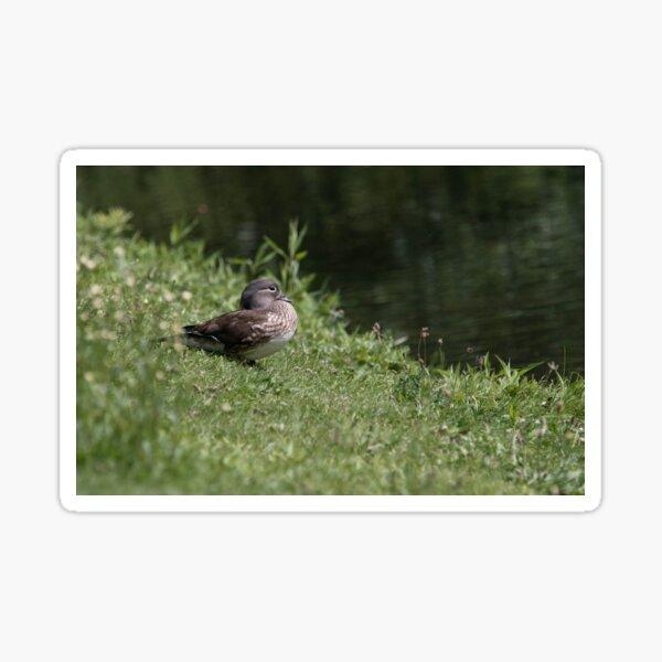 Mallard Duck Photography Sticker