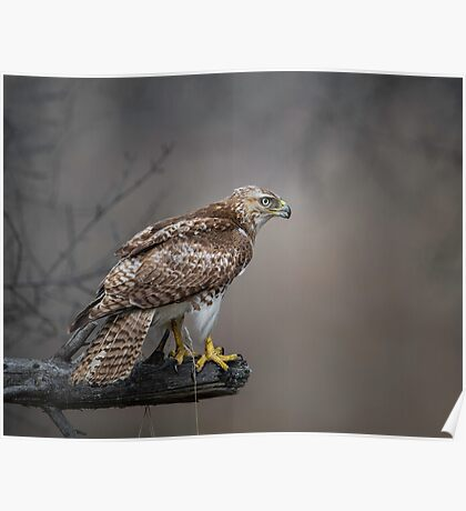 Hawk Encounter  Poster
