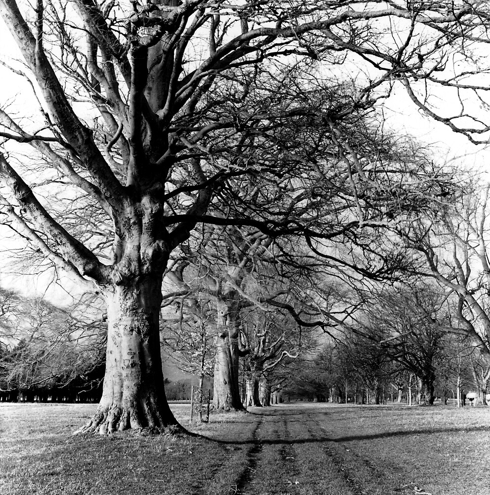 Tree Lined Avenue, Phoenix Park, Dublin by Dave  Kennedy