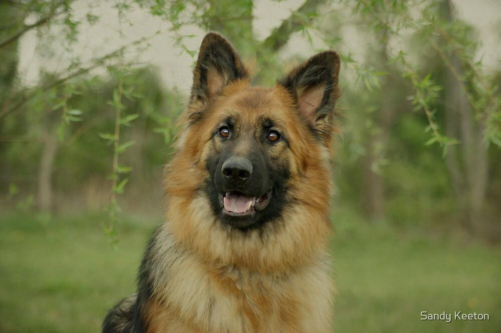 Queena - German Shepherd by Sandy Keeton