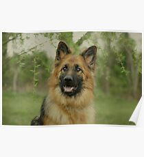Queena - German Shepherd Poster