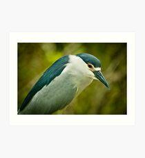 Black Crown Night Heron Stare Art Print