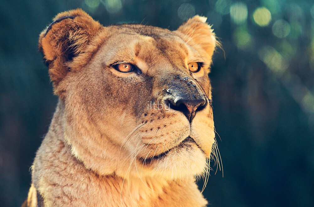 Proud Lioness by iltby