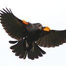Blackbird attack  by Alinka