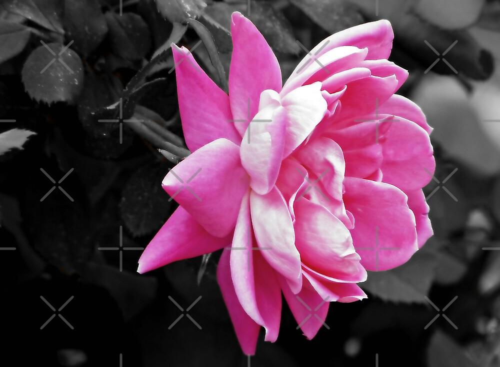 Pink Rose by Scott Mitchell