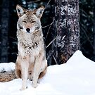 coyote by tomcelroy