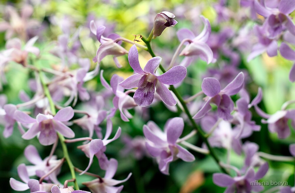 orchids by milena boeva