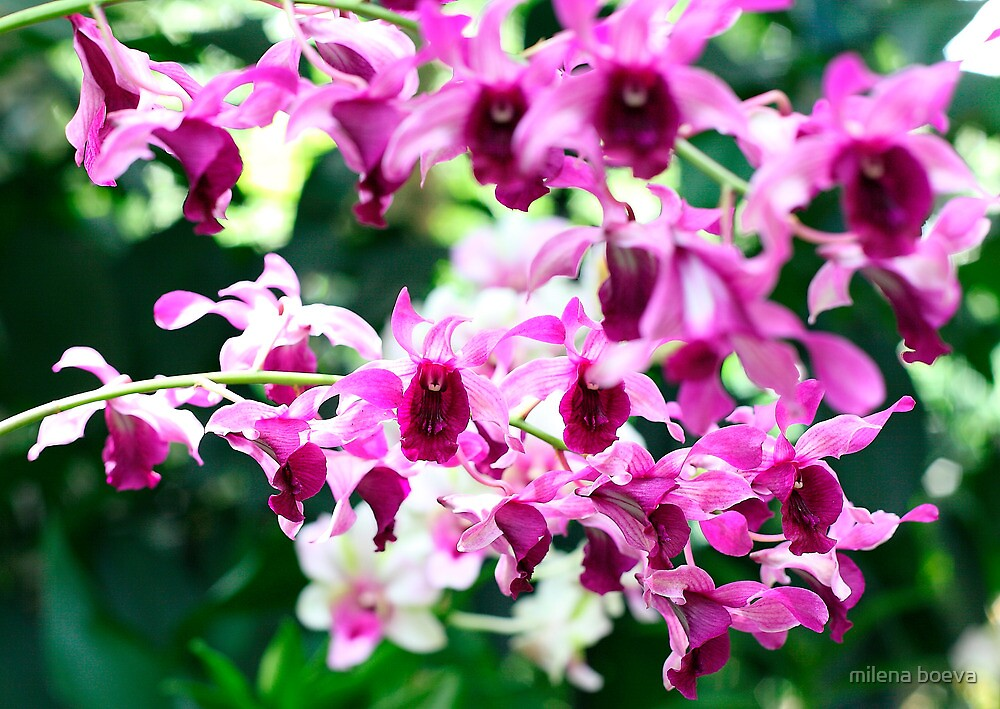 pink orchids by milena boeva