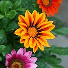 Gazanias by Kelly Cavanaugh