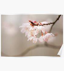 Prunus hirtipes Poster
