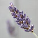 Lavender Blue by AnnDixon