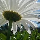 Sunshiney Daisy by TheaShutterbug