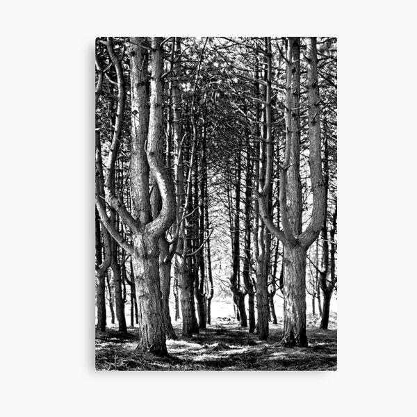 Tall Trees At The Furry Glen, Phoenix Park Canvas Print