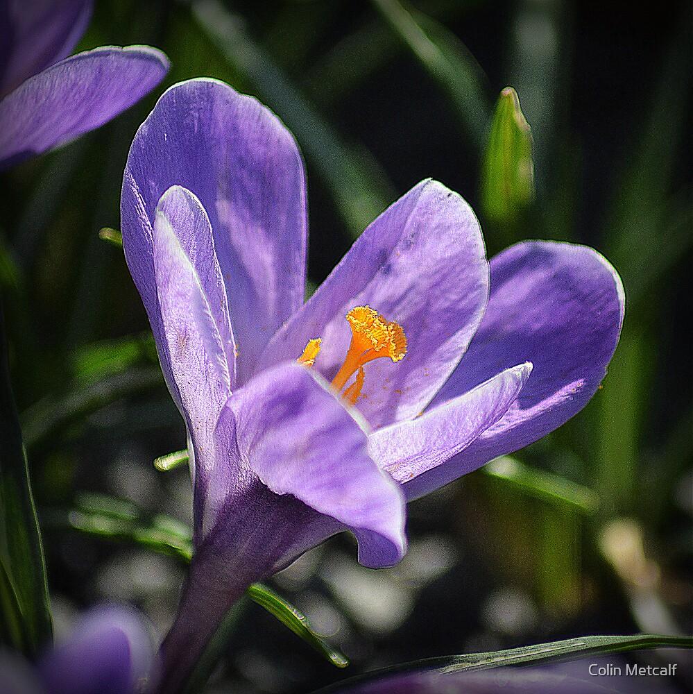 Purple Crocus by Colin Metcalf