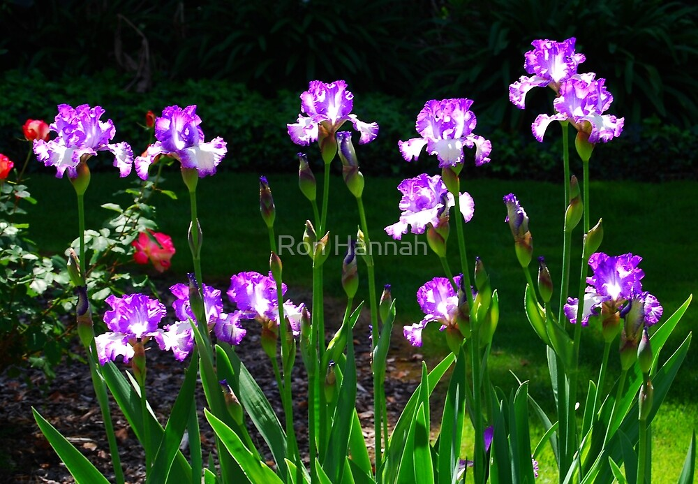 Irises In The Morning Sun by Ron Hannah