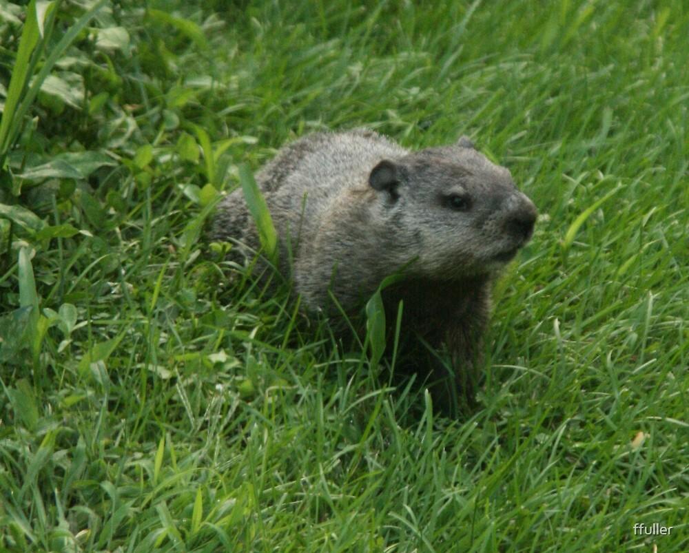 groundhog by ffuller