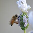 Lavender Bee by TheaShutterbug