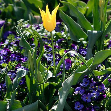Yellow Star Tulip by Bennebula