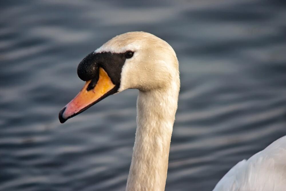 Swan in portrait by Vicki Field