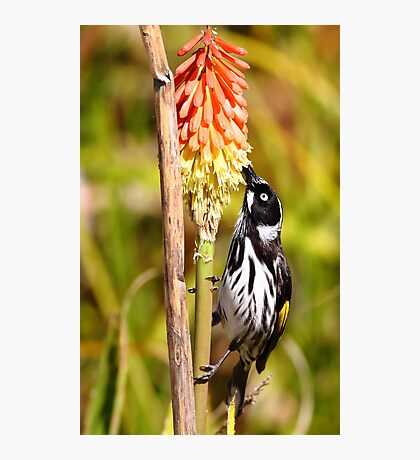 """Honey Eater"" Photographic Print"