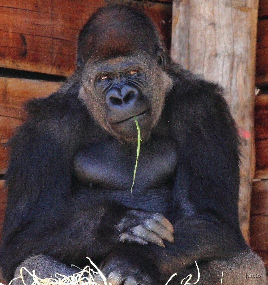 """""""Gorilla - So You Want Another Picture?"""" by jonxiv"""