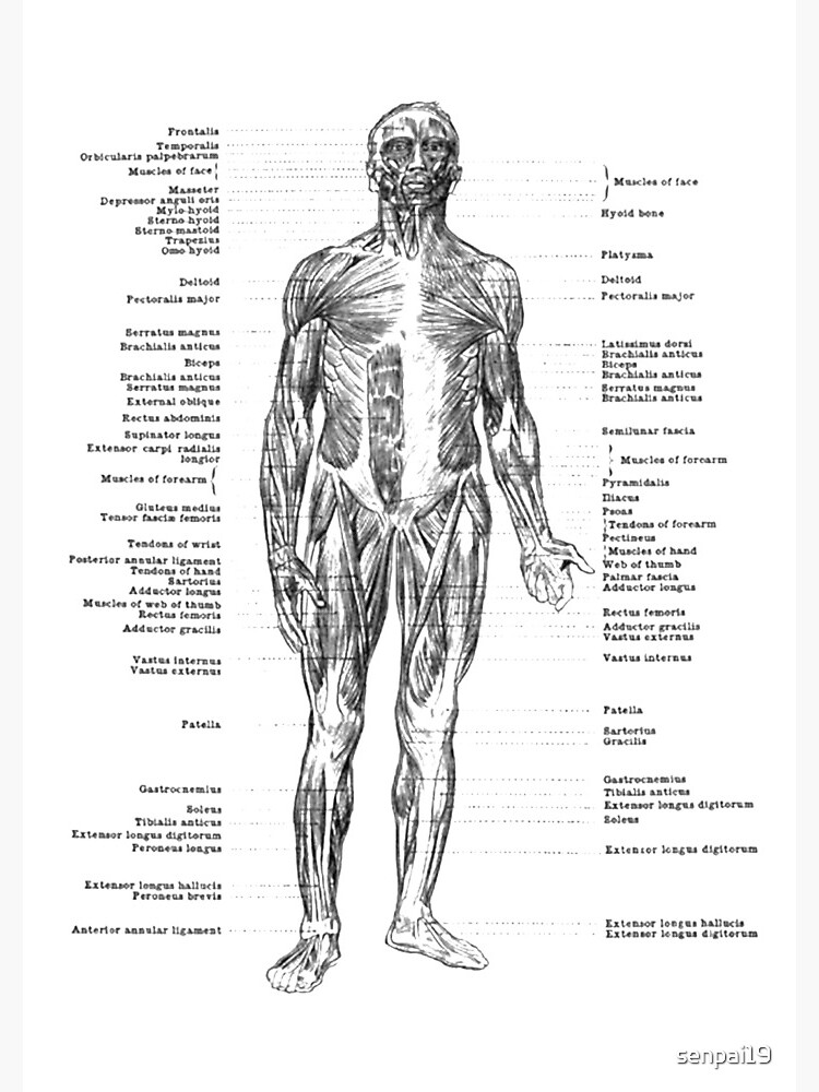 Anatomy of Human Muscles  by senpai19