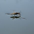 The Pond Skater by blueclover