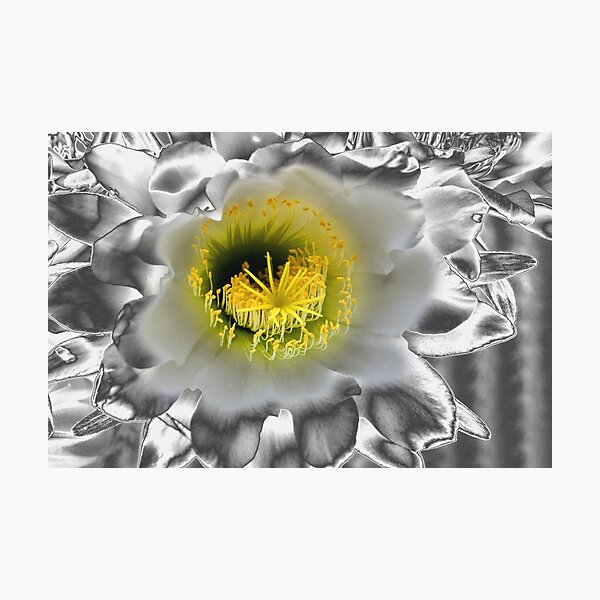 Metalised Night Cactus Flower Photographic Print