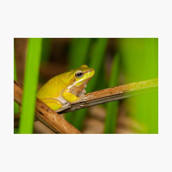 Dwarf Tree Frog - Litoria fallax Photographic Print
