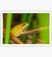 Dwarf Tree Frog - Litoria fallax Sticker
