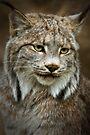 Lynx Canadensis by Scott Denny