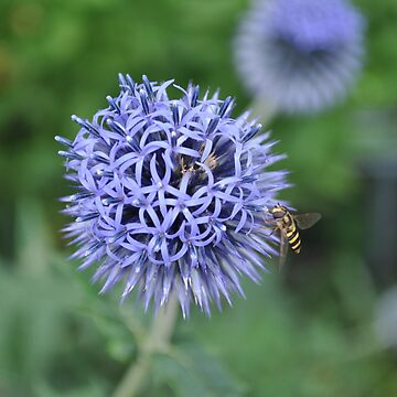 Globe Thistle by anadelis