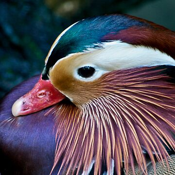 Mandarin Duck by ant1design