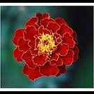 Marigold by Keith G. Hawley