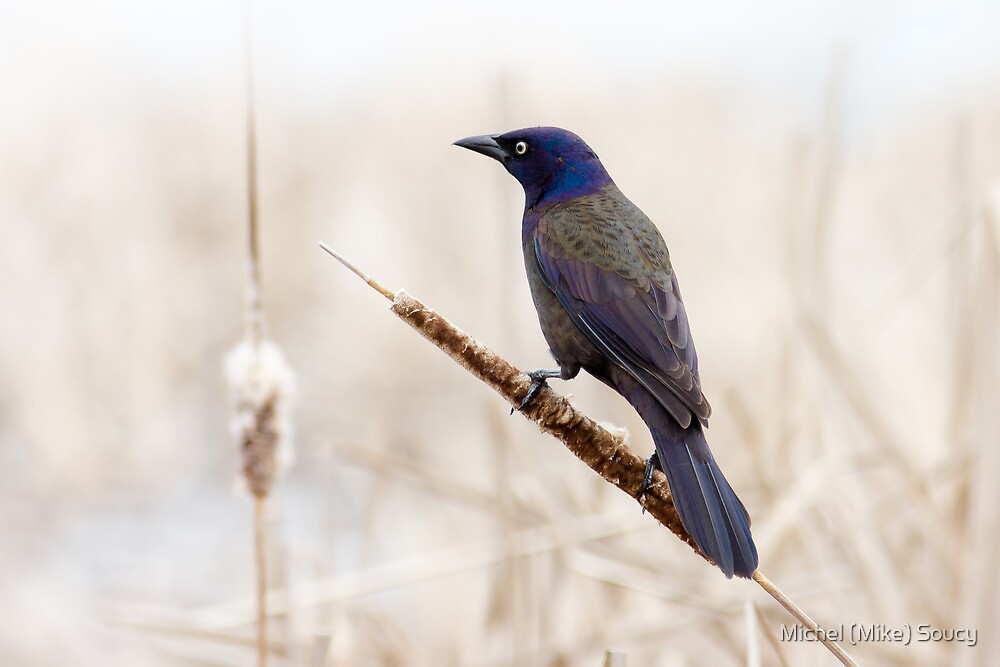 Common Grackle by michelsoucy
