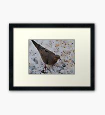 Mourning Dove Eating Framed Print