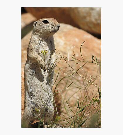 Round-tailed Ground Squirrel ~ Mommy Alert Photographic Print