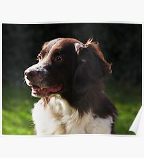 Portraitsession of Luca, a Dutch Partridge dog Poster