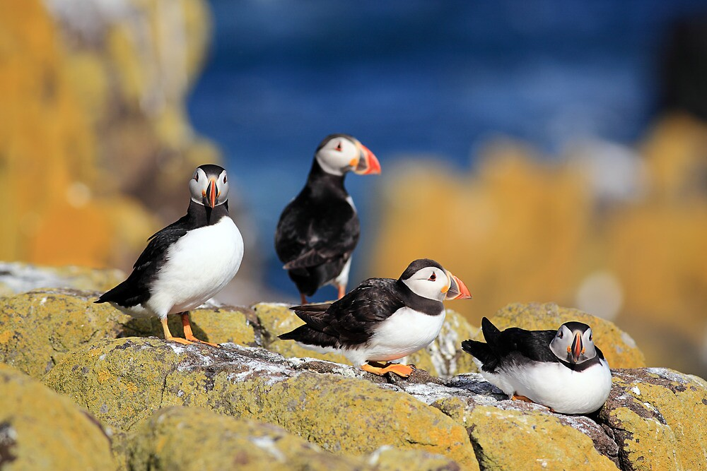 Puffins by Grant Glendinning
