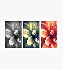 Dahlia - Triptych Photographic Print