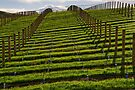 Marlborough Vineyard by Werner Padarin