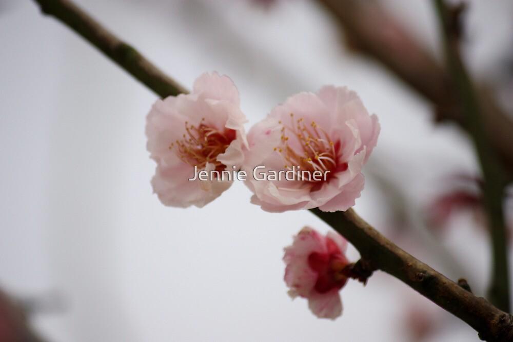Sakura by Jennie Gardiner