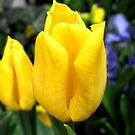 Spring Tulip by Patricia127