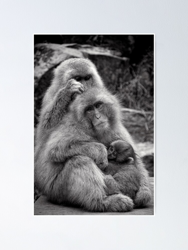 Alternate view of Work, play and stay together. Snow Monkeys Poster