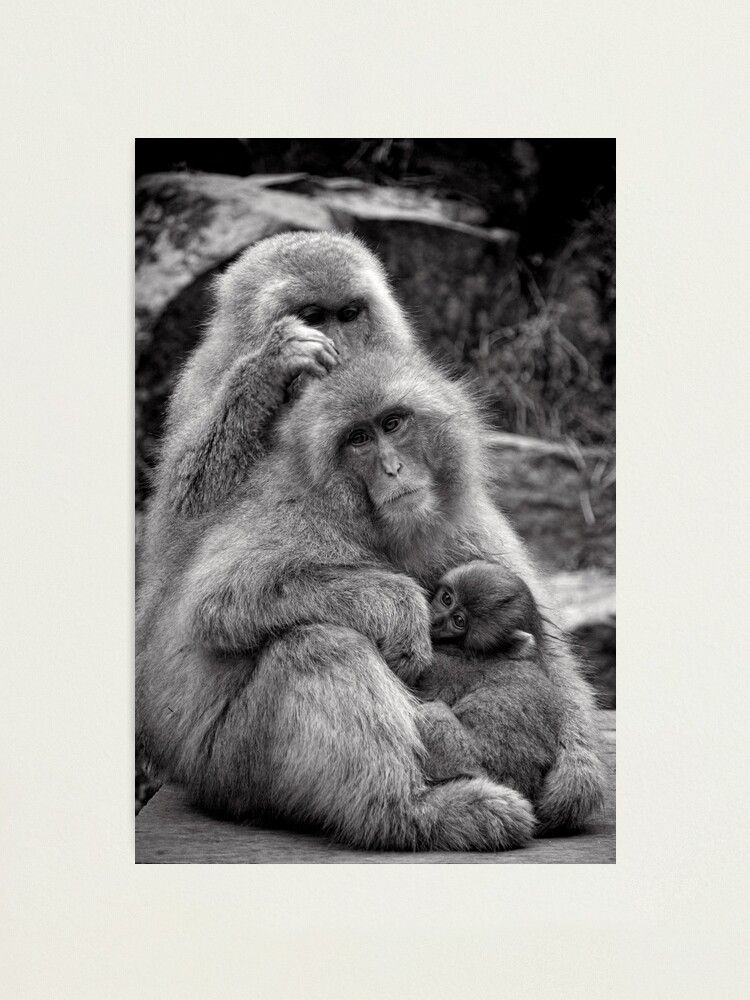 Alternate view of Work, play and stay together. Snow Monkeys Photographic Print