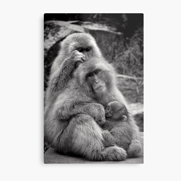Work, play and stay together. Snow Monkeys Metal Print